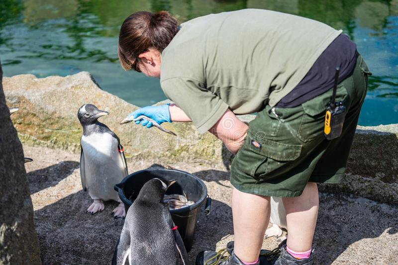 The woman feeds penguins.The gentoo penguin Pygoscelis papua is a penguin species in the genus Pygoscelis royalty free stock photography