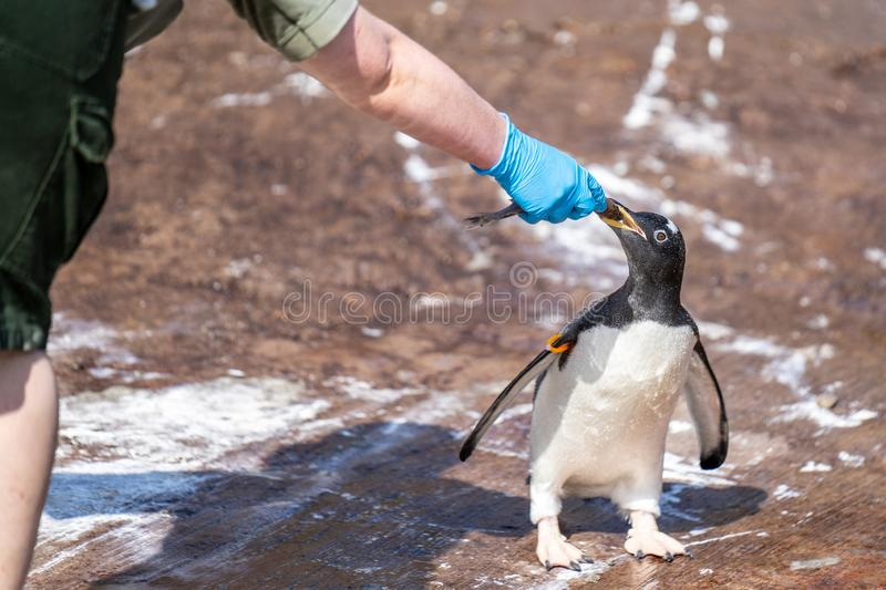 The woman feeds penguins.The gentoo penguin Pygoscelis papua is a penguin species in the genus Pygoscelis royalty free stock image