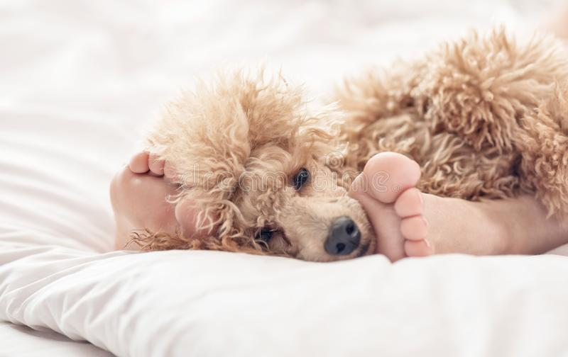 Woman feet on the bed with poodle dog. Morning in bedroom royalty free stock images