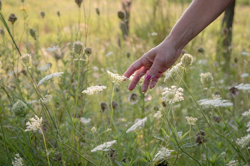 Woman reaching out and touching queen annes lace flowers in field. Woman in field of wildflowers touching queen annes lace flower with hand stock photo