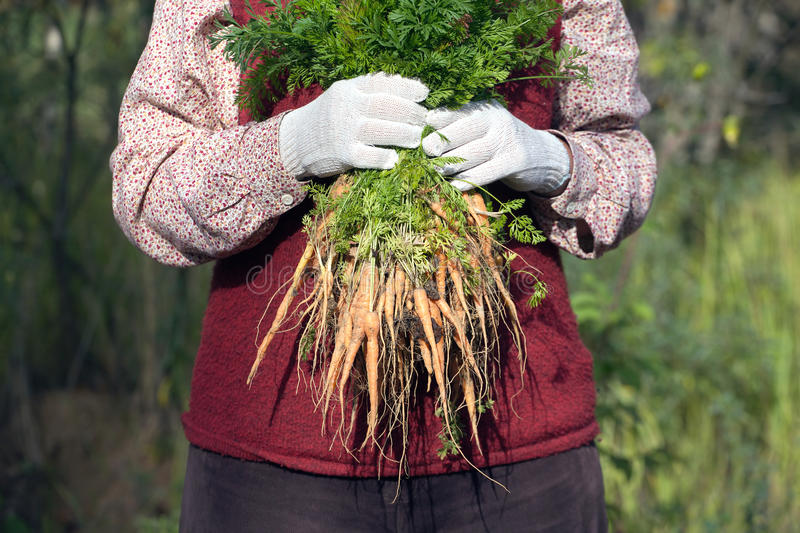 Woman in a garden holding bunch of carrots royalty free stock photos
