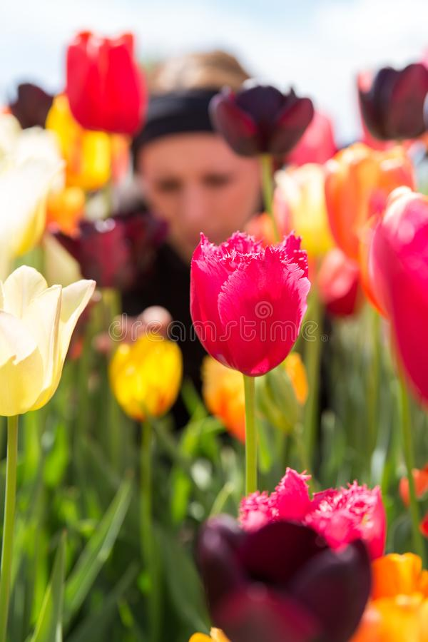 Woman in a garden with a lots of tulips royalty free stock photo