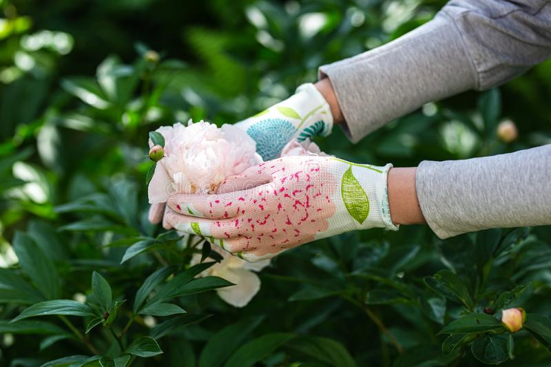 Woman gardener holding a peony in her hand stock photos
