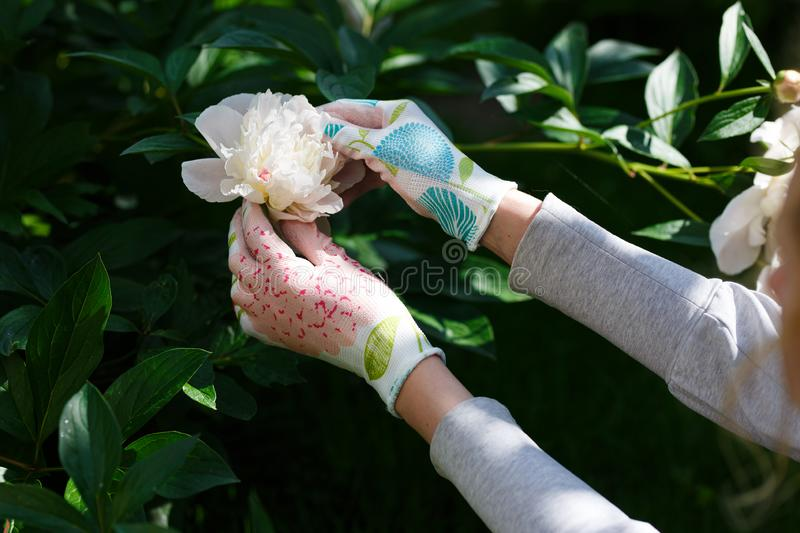 Woman gardener holding a peony in her hand royalty free stock images