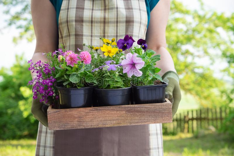 Woman gardener holds wooden tray with several flower pots. royalty free stock photo