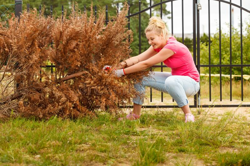 Woman removing pulling dead tree stock image