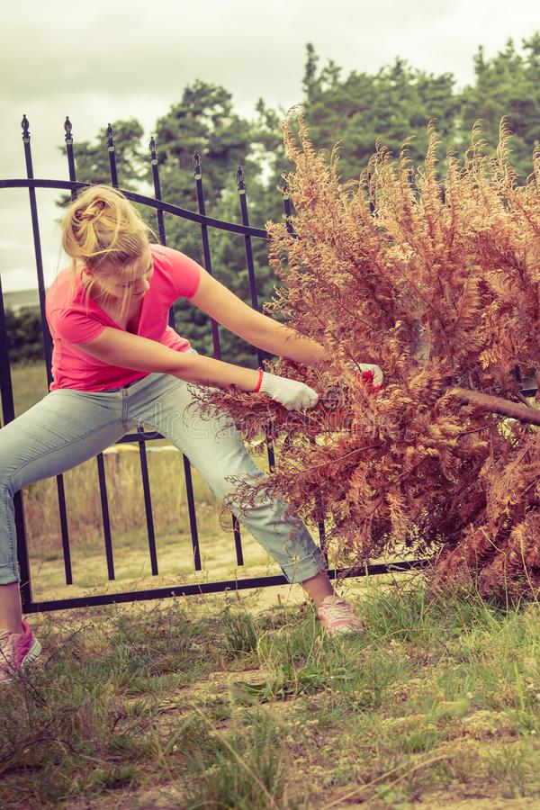Woman removing pulling dead tree stock photo