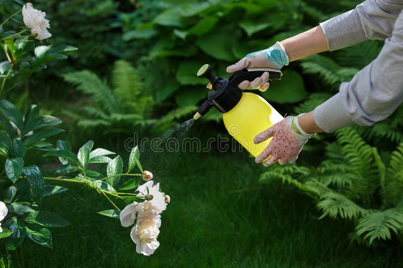 Woman gardener spraying flowers in the home garden stock image