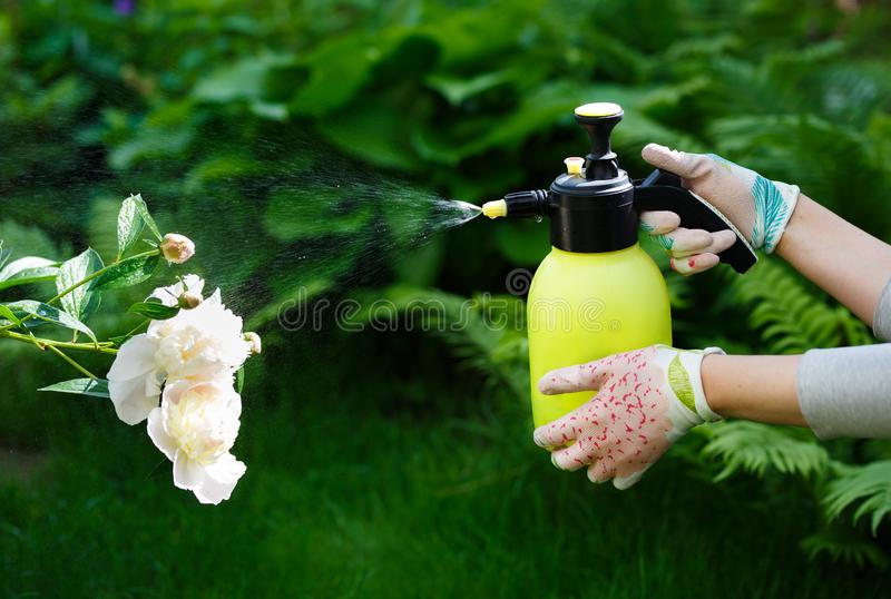 Woman gardener spraying flowers in the home garden royalty free stock images