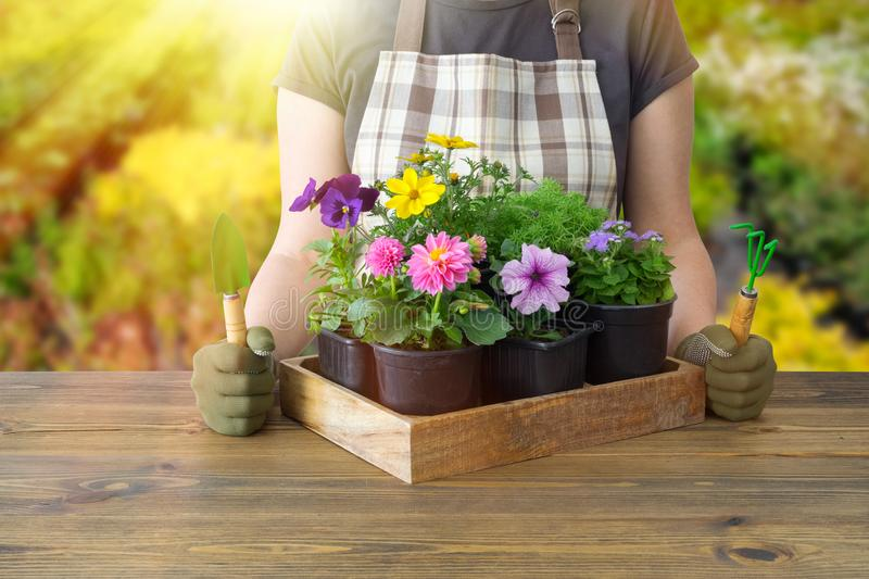 Woman gardener with wooden box of flower pots. Garden or stock images
