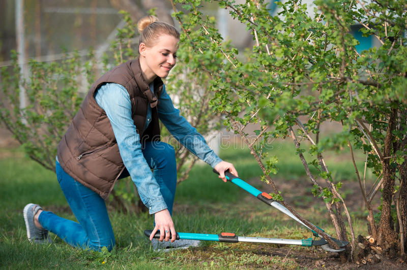 woman gardener working with hedge shear in the yard. Professional garden worker trimming branches. Gardening service and business stock image