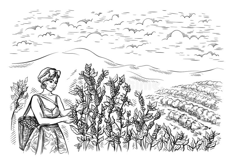 Woman gatherer harvests coffee at coffee plantation landscape in graphic style hand-drawn vector stock illustration