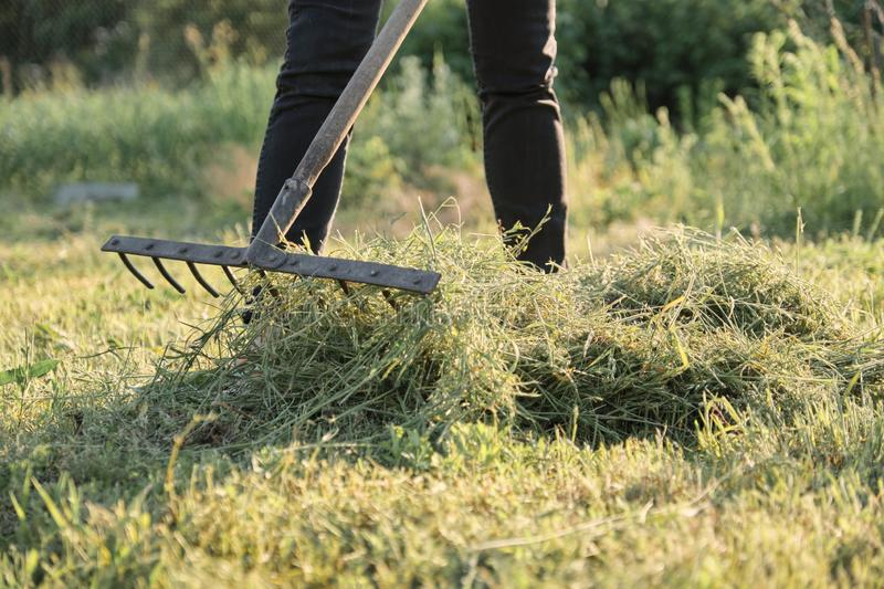 Woman gathering freshly cut grass, spring summer season. Country house sunny day stock photography