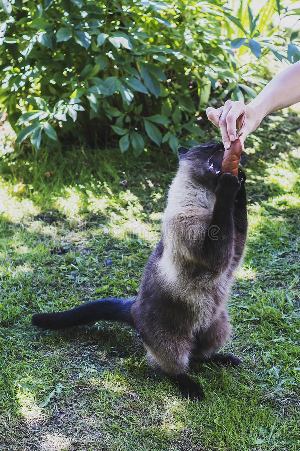 A woman gives the cat to eat and meat sausage royalty free stock photo