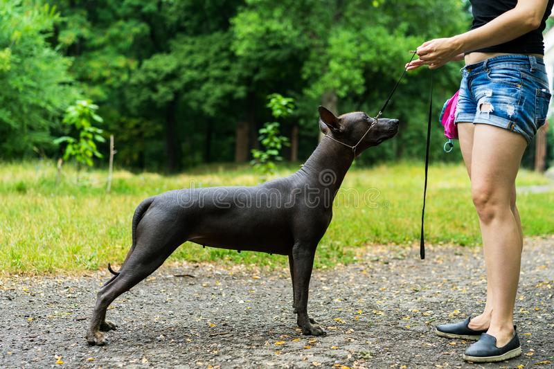 Woman gives a command to her Mexican Hairless Dog. Dog training stock photo