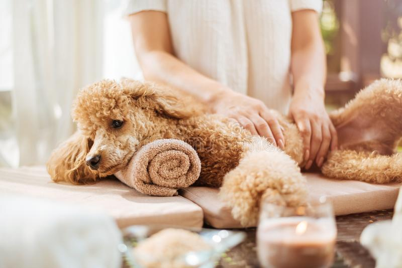Woman giving body massage to a dog. Spa still life with aromatic candles, flowers and towel royalty free stock images