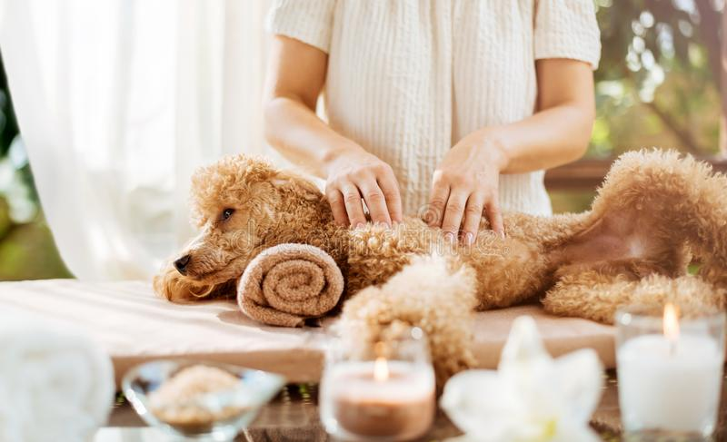 Woman giving body massage to a dog. Spa still life with aromatic candles, flowers and towel stock images