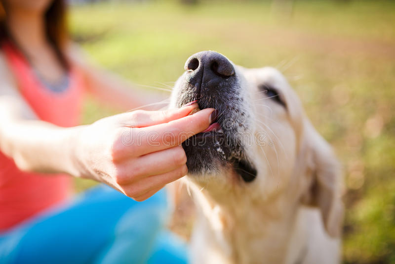 Woman giving treat labrador dog stock photo