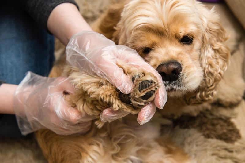 Woman in gloves check dog paws for insect. Cocker spaniel cheking for mite after walk in nature. Woman in gloves check dog paws for insect stock image