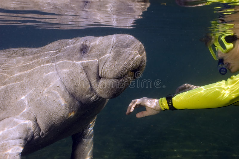 Woman greets manatee. Close to the water surface, a manatee and a woman snorkeler are facing each other, both are reflected on the surface of the water royalty free stock photos