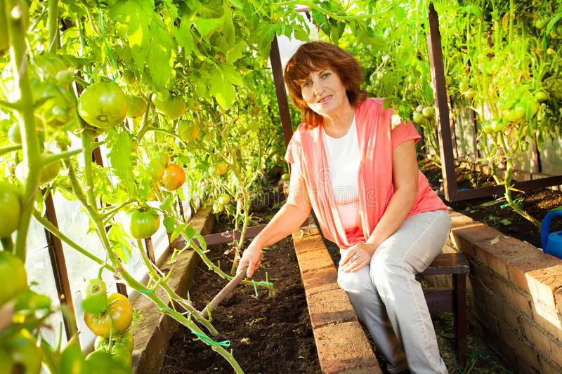 Woman grows harvest in the hothouse royalty free stock photo
