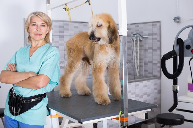 Woman hairdresser posing with Afghan puppy Shepherd in beauty sa. Professional woman hairdresser posing with Afghan puppy Shepherd in beauty salon for animals stock photos