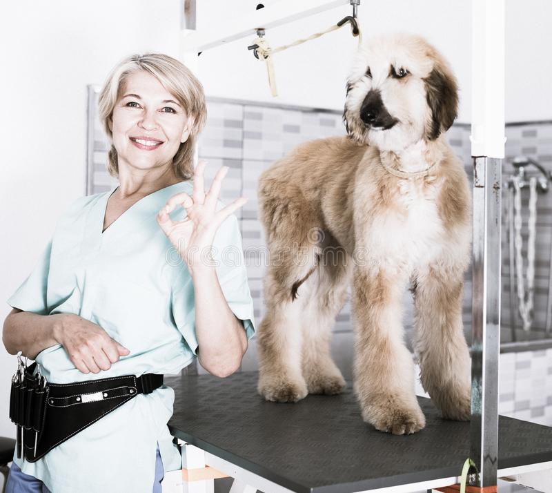 Woman hairdresser posing with Afghan puppy Shepherd in beauty salon for animals royalty free stock photo