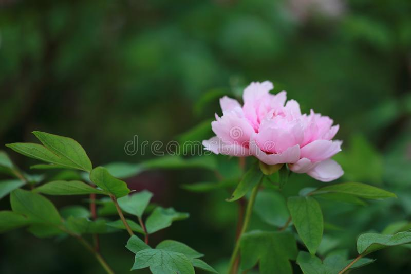 Woman hand hold red pink colorful peony under sunshine in summer spring autumn park beautiful scenery veiw scene pretty flower. A woman hand hold a pink Peony stock images