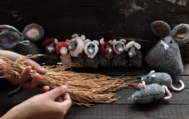 Woman hand hold sheaf of paddy, feeding group cute grey mice. Woman hand hold sheaf of paddy and feeding group of cute grey mice and small rat on black wooden stock photo