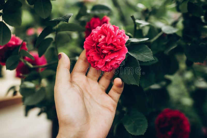 woman hand holding beautiful purple pink rose. hipster girl touching amazing beauty flower. space for text. gardening in summer. royalty free stock photos