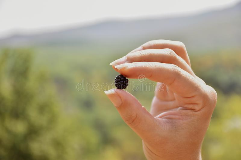 Woman hand holding blackberry, hand holding single blackberry fruit in nature royalty free stock images
