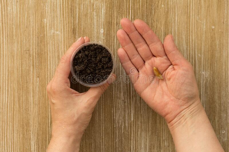 Woman hand holding cup with soil and bones of dates fruit for plant palm on wooden background. Woman hand holding cup with soil and bones of dates fruit for royalty free stock photo