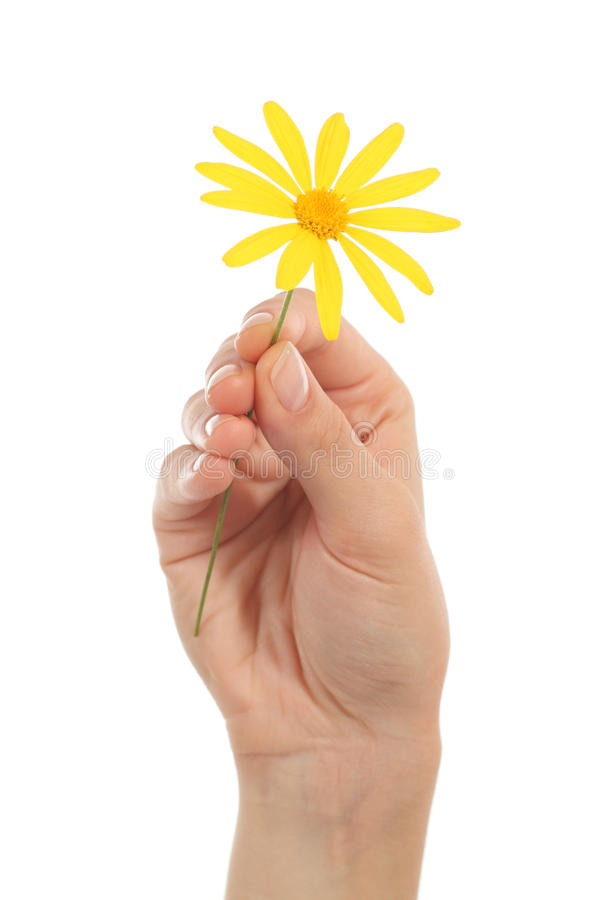 Download Woman Hand Holding A Daisy Stock Photo - Image: 28082630