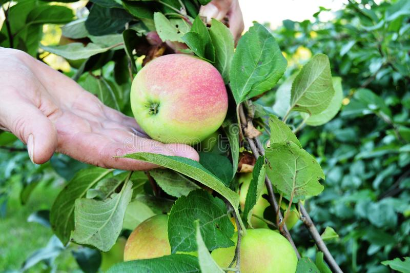 Woman hand holding a ripe Apple in the palm, on the background of green branches on the tree stock photos
