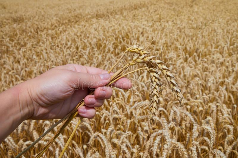 Woman hand holding three ripe ears of wheat royalty free stock image