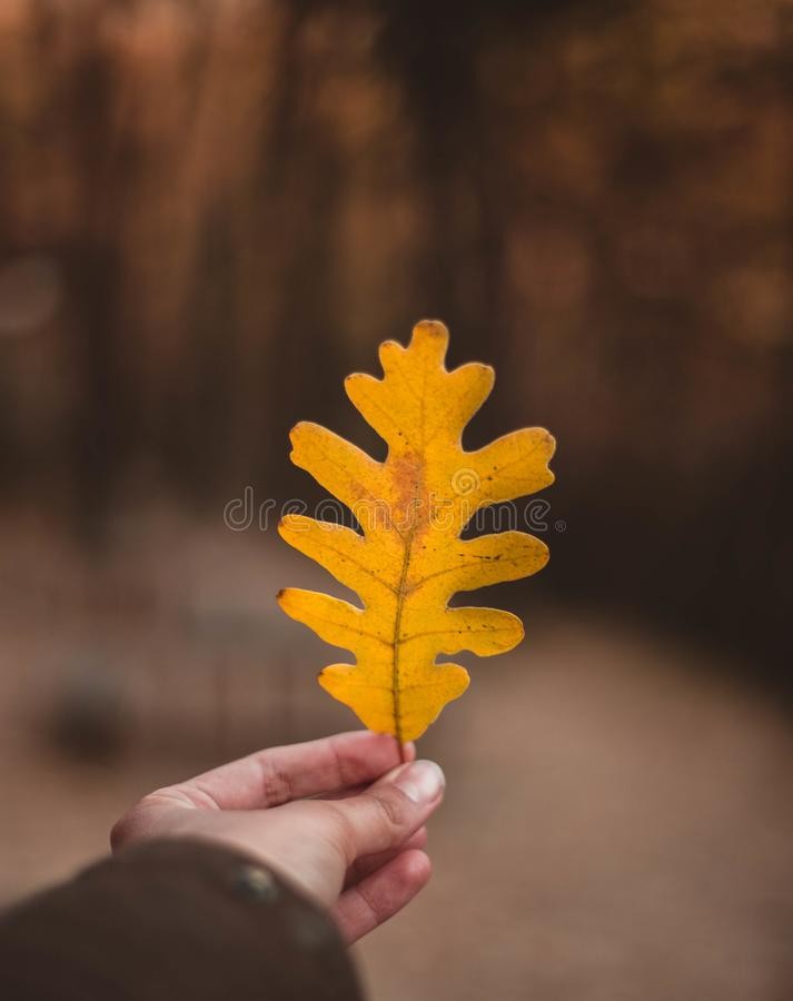 Woman hand holding yellow Oak leaf against autumnal forest. Seasonal concept. The colors and mood of autumn. Travel concept royalty free stock image
