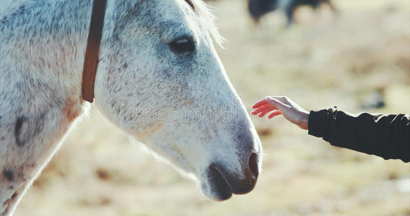 Woman hand petting white horse head. Lifestyle animal and people friendship Travel concept royalty free stock photography