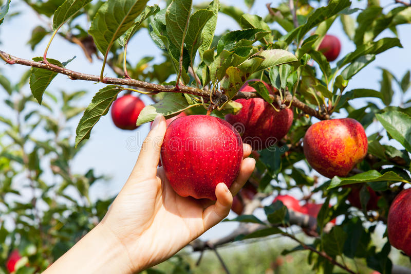 Woman hand picking an apple. Woman hand picking an red apple stock image