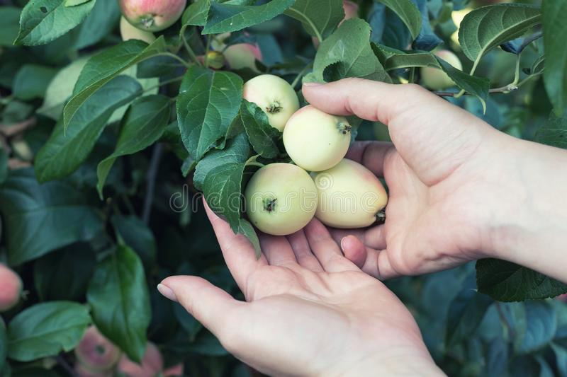 A woman hand picking a red ripe apple from the apple tree. Harvest time royalty free stock photography