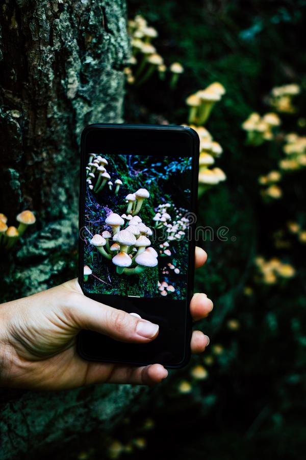 Woman hand taking a picture to mushrooms with a smartphone in the forest royalty free stock image