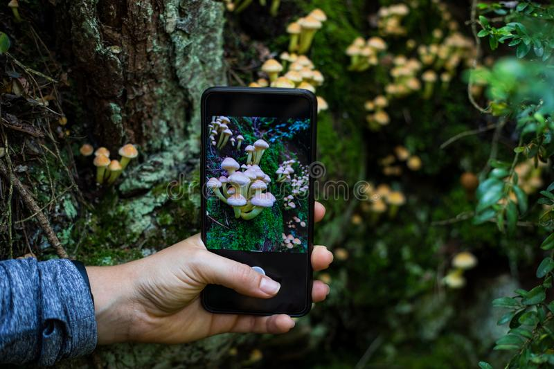 Woman hand taking a picture to mushrooms with a smartphone in the forest stock photos