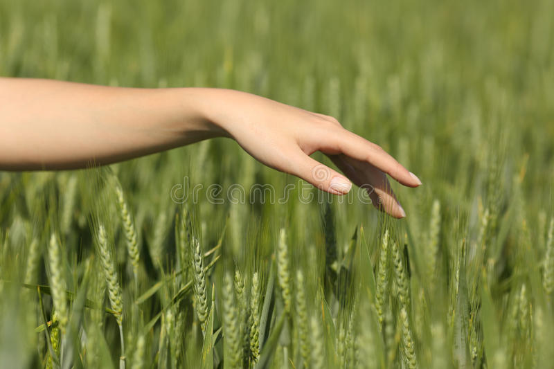 Woman hand touching softly wheat in a field royalty free stock photography