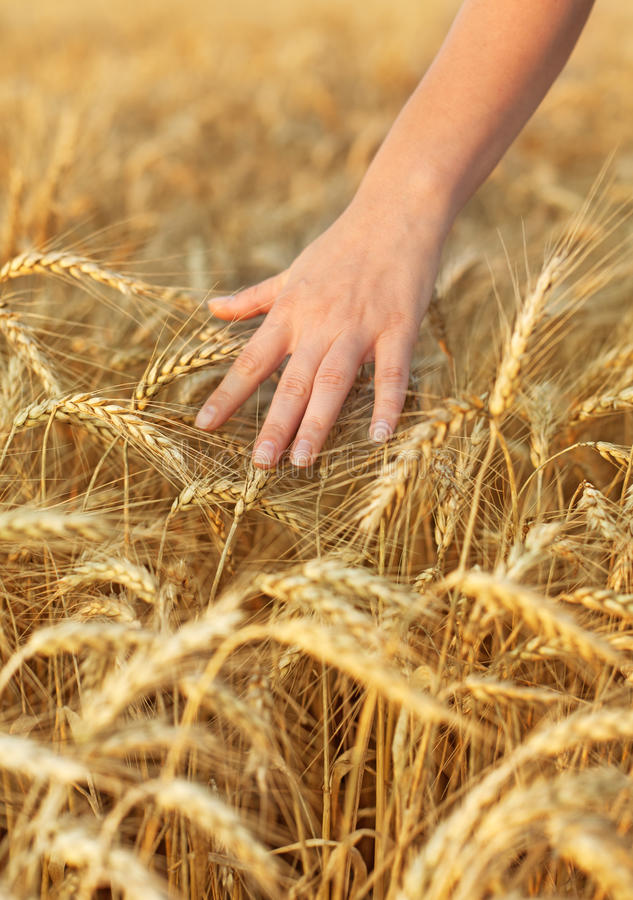 Download Woman hand touching wheat stock photo. Image of cultivate - 20551716