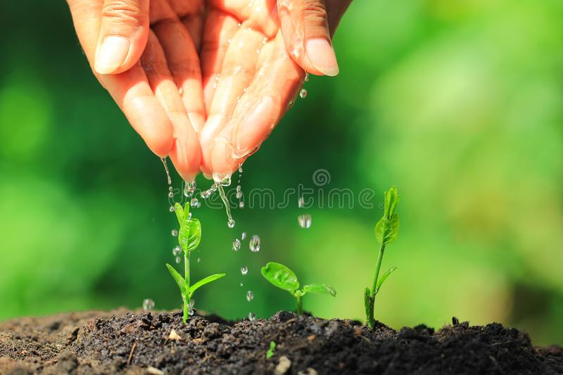 Woman hand watering to young plant in complete soil on natural green background, Growing plants concept stock images