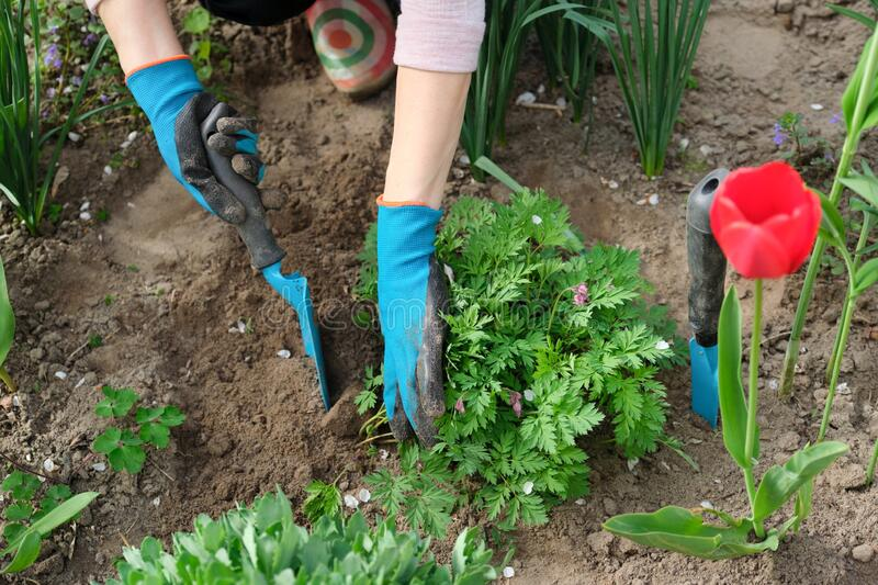 Woman hands with garden tools working with soil and cultivating dicentra spectabilis Bleeding Heart flower stock photos
