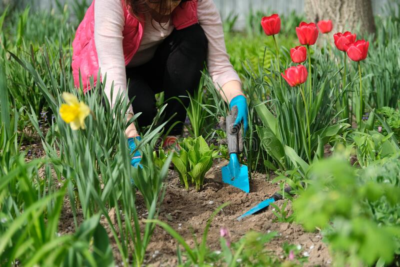 Woman hands with garden tools working with soil and cultivating hostas stock image