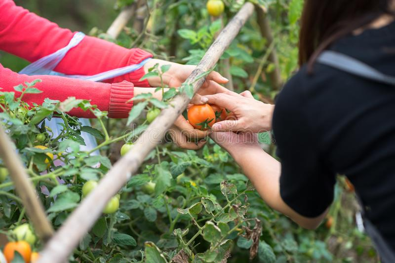 Woman hands hold fresh tomatoes giving and other hands receiving on cultivated field stock image