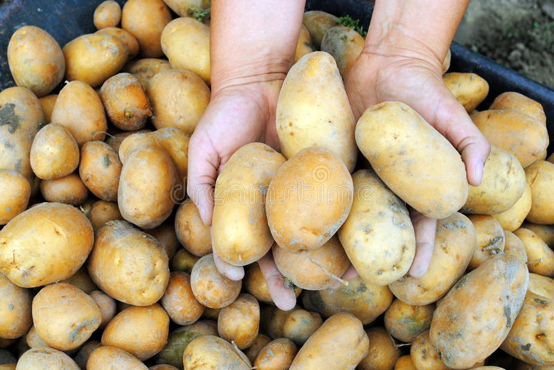 Woman hands hold organic potatoes stock images