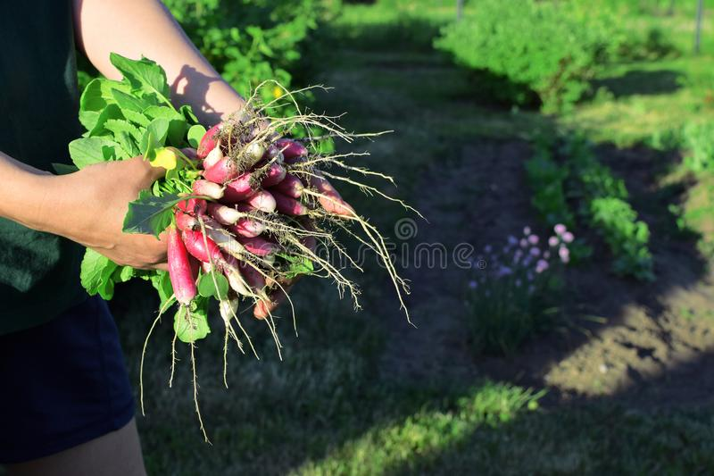 Woman hands holding bundle of radish royalty free stock image