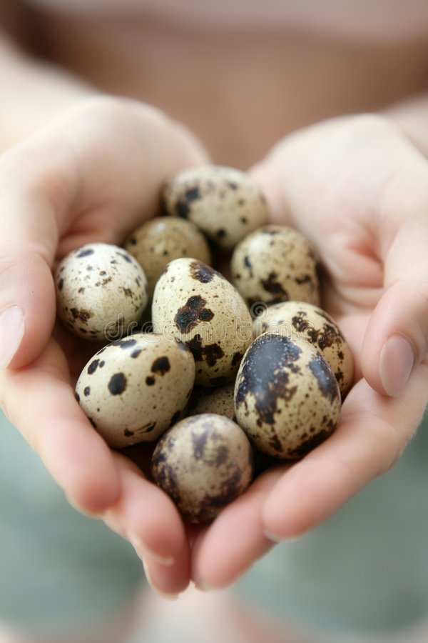 Woman hands holding fragile quail eggs royalty free stock images